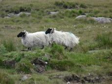 These sheep were running full tilt - from Murray!
