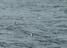 There were puffins as well - so cute, but so fast in the air