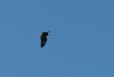 Bald eagles are fast!