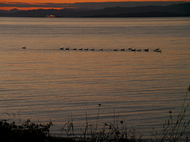 Our gaggle of geese arriving for the night