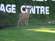 We see deer at random spots along the road
