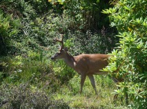The Ucluelet version of a young buck