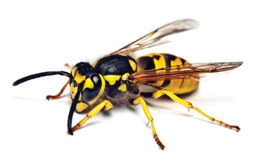 Our friend the yellow jacket