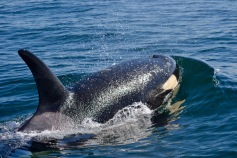 Orcas - Up close and personal - in an inflatable boat!