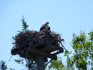 Osprey nests here and there