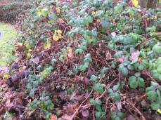 My favourite blackberry spot is a bit bare